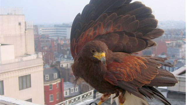 Pigeon Hawk Deterrent: Pest Control Lanarkshire